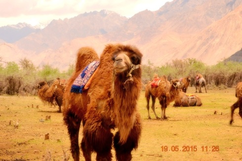 camel, double humped camel, dessert, nubra valley, leh